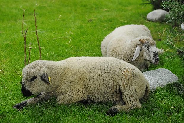 Ovečky na Agrokomplexe